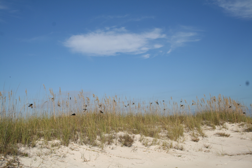 Red winged blackbirds on St. George Island
